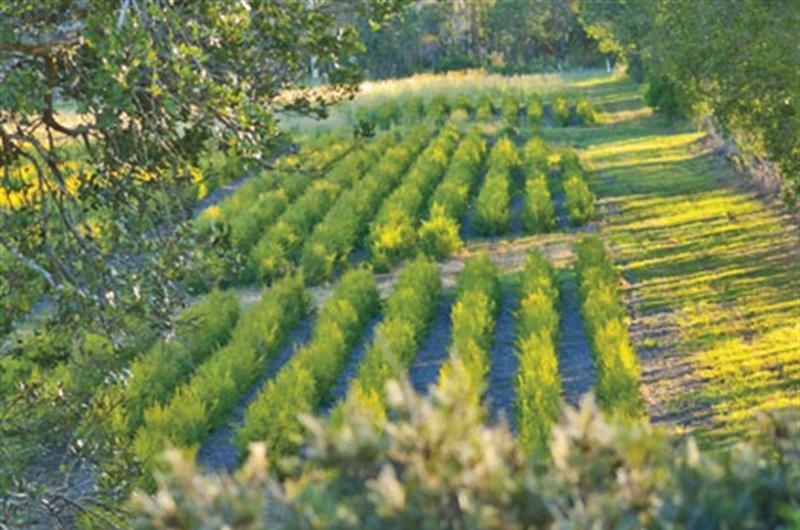 We service the Tea Tree Industry